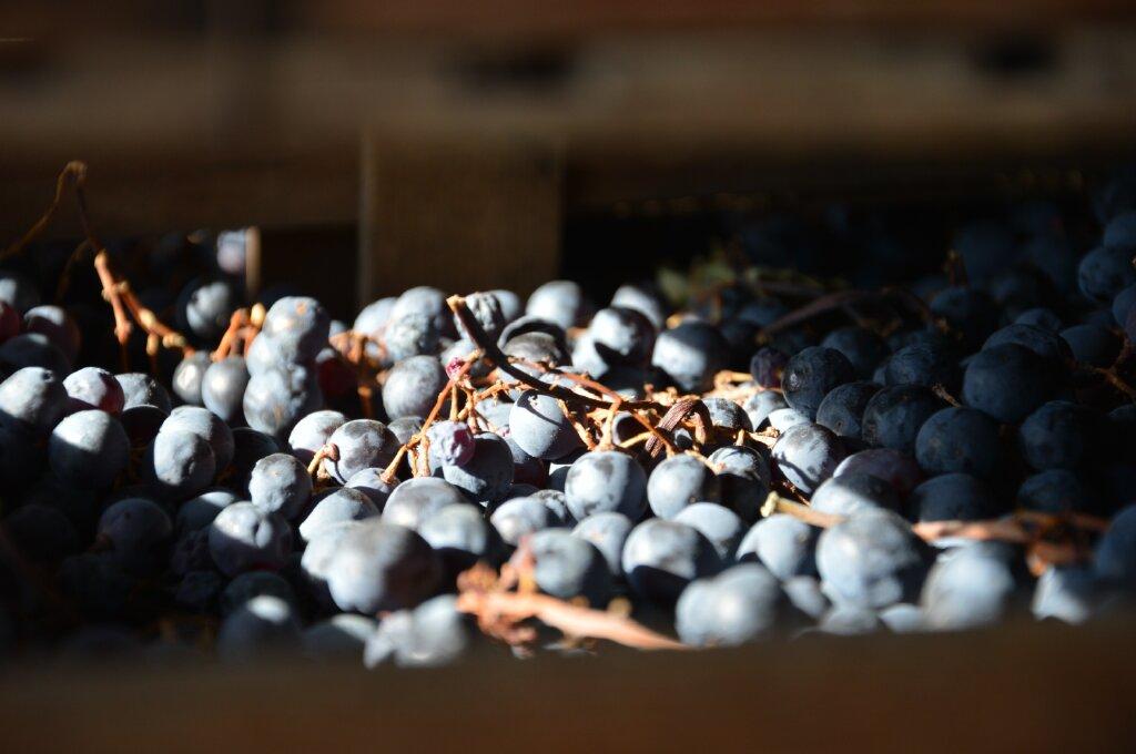 Valpolicella grapes - Pagus Wine Tours