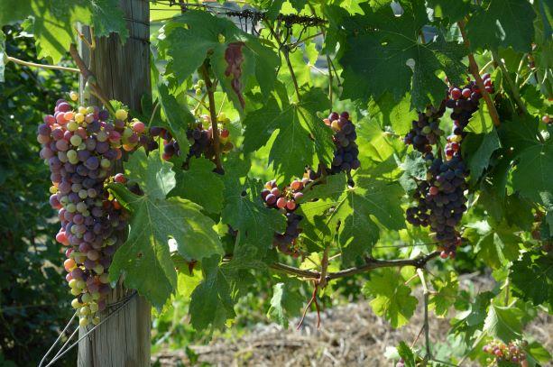 Veraison: when grapes change color just before harvest time