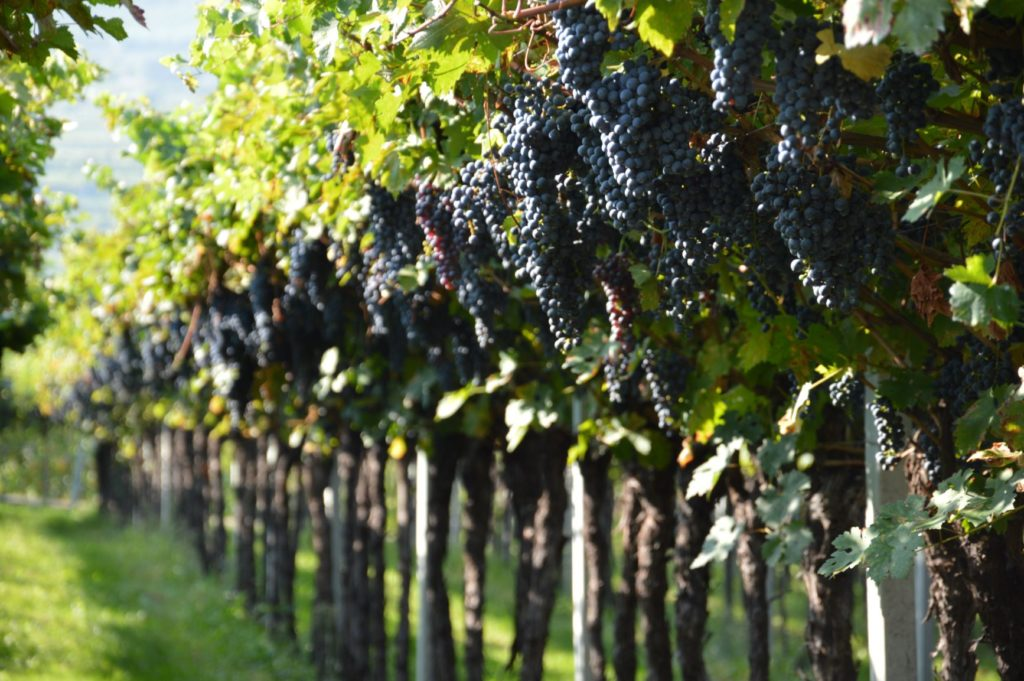 Vineyards in Valpolicella