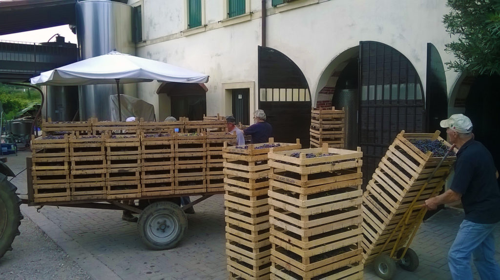 Harvest: the busiest time in the winery
