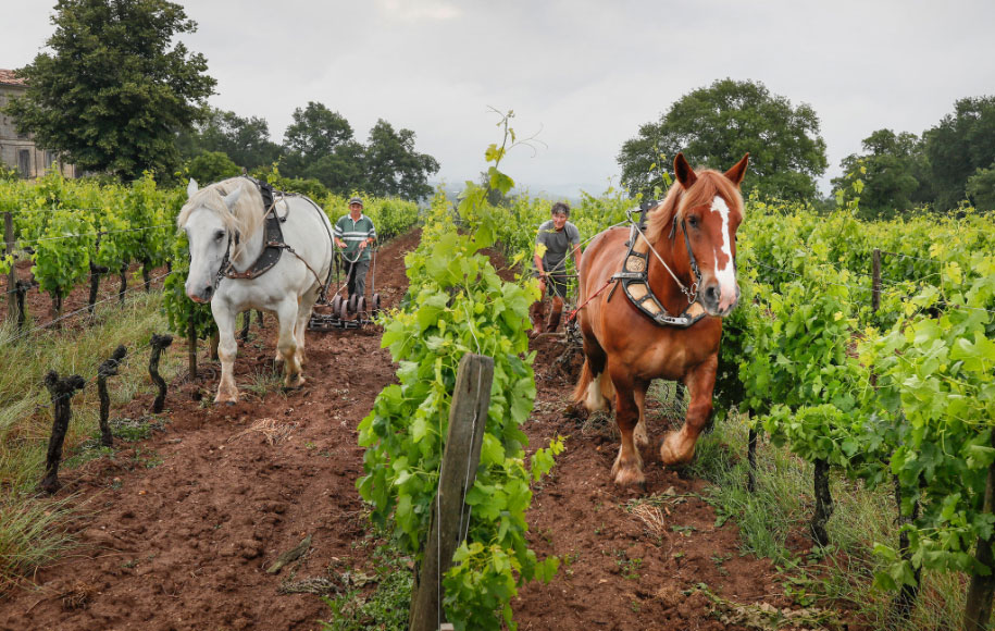 Horses working in the vineyards: an ancient tecnique that has been rediscovered