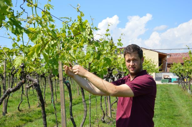 Marco working in his vineyards, which are organic certified