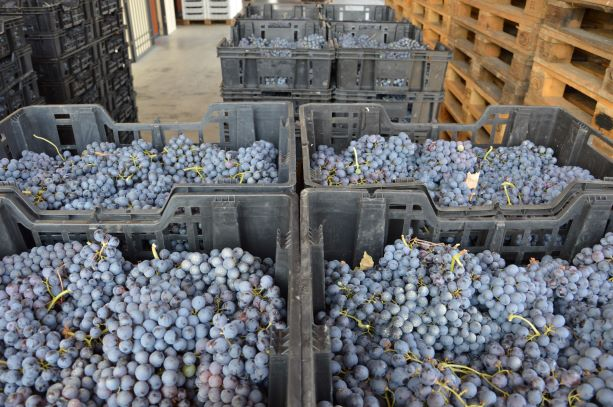 Grapes during the appassimento at Tenute Falezza
